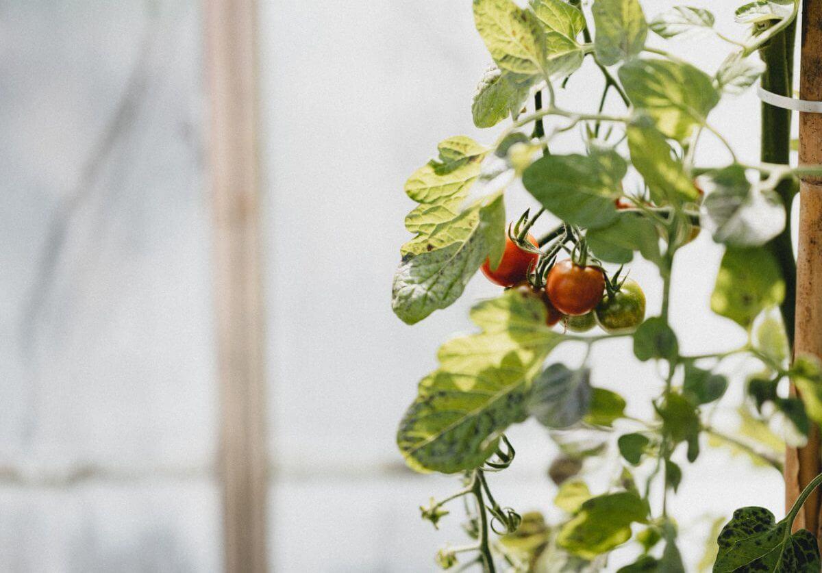 トマトの育て方とは?トマトの基本情報から育て方のポイントまで紹介